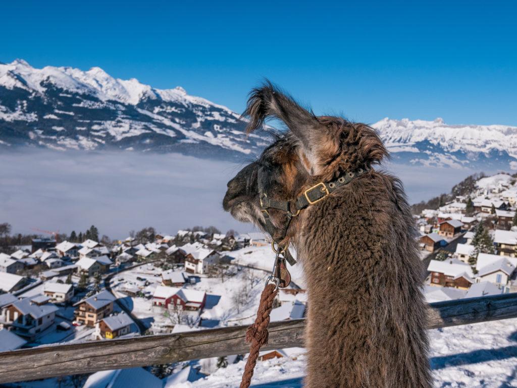 Ein Lama schaut über das Liechtenstein
