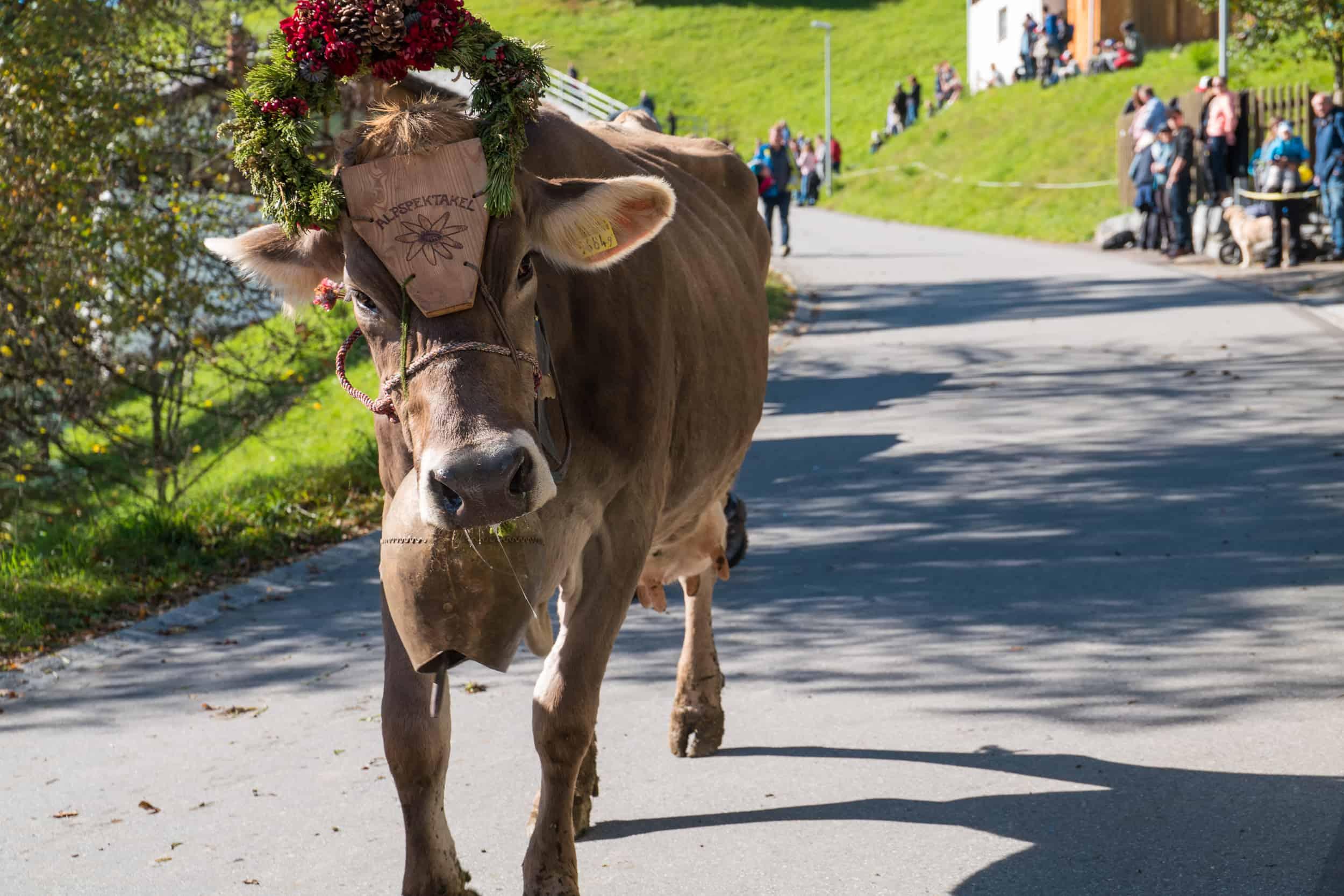 Eine Kuh beim Seewiser Alpspektakel