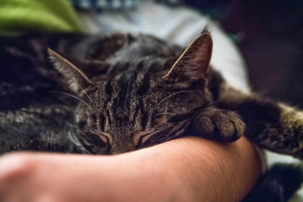Paolo, der getigerte Kater, schläft auf einer Hand