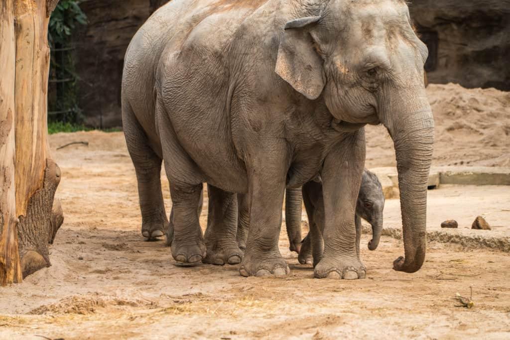 Ruwani das Elefantenbaby im Zoo Zürich