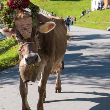 Eine Schweizer Kuh beim Seewiser Alpspektakel