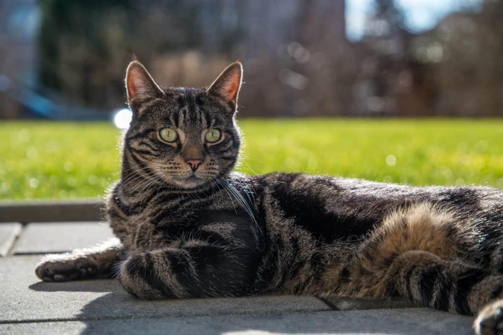 Paolo, die getigerte Katze, in seinem neuen Revier
